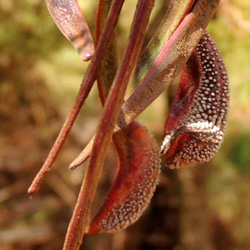 galls on seed pods of Acacia seyal, Eldoret, Kenya, photo © by Michael Plagens