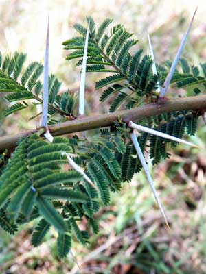 Leaves and thorns of Nyanga Flat-Top, Acacia abyssinica, Kenya, photo © by Michael Plagens