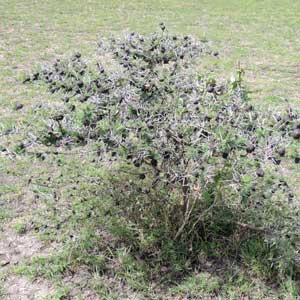 growth habit of Acacia drepanolobium from Kenya, photo © by Michael Plagens