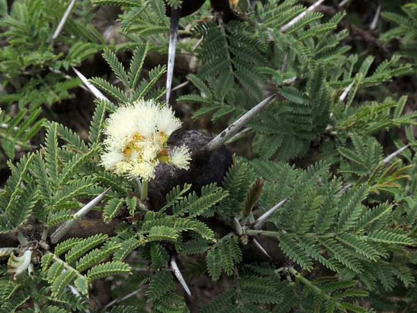 Acacia drepanolobium from Kenya, photo © by Michael Plagens