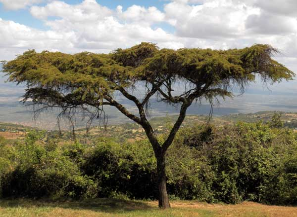 Lahai, Acacia lahai, Iten, Kenya, photo © by Michael Plagens