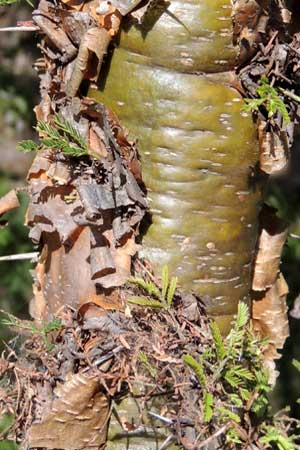 close view of bark, Acacia seyal, Eldoret, Kenya, photo © by Michael Plagens