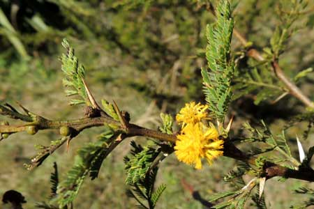 foliage and flowers of Acacia hockii, photo © Michael Plagens