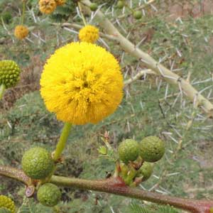 Inflorescence of Acacia xanthophloea photo © Michael Plagens