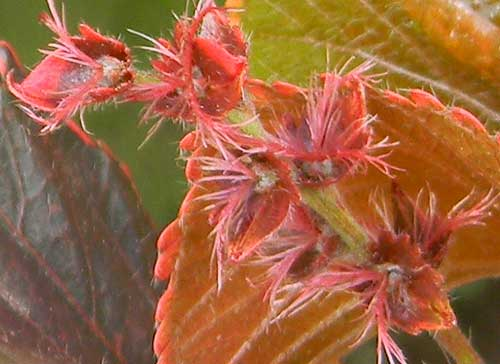 flowers of copper leaf, Acalypha, photo © by Michael Plagens