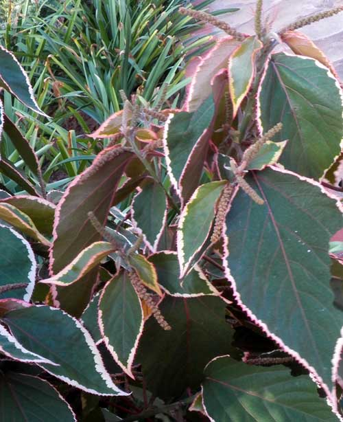 a variety of copper leaf, Acalypha, photo © by Michael Plagens