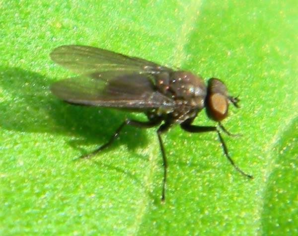 an Acalyptrate fly from Eldoret, Kenya, Oct. 2010. Photo © by Michael Plagens