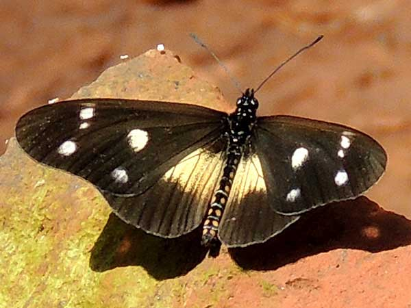 Acraea johnstoni observed near, Nairobi, Kenya, July 2014. Photo © by Michael Plagens