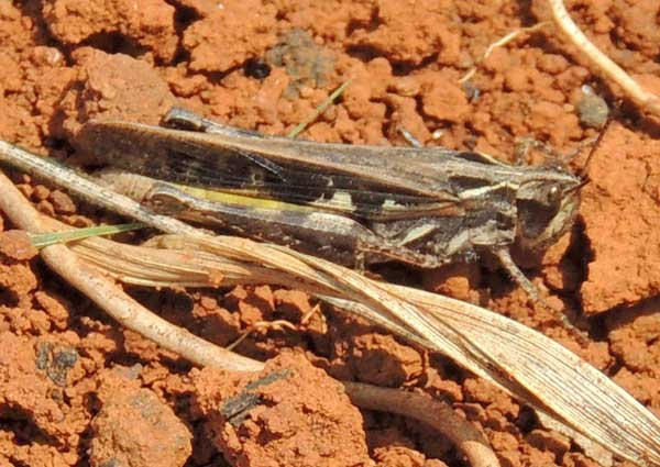 a grasshopper, f. Acrididae, Kenya, photo © by Michael Plagens