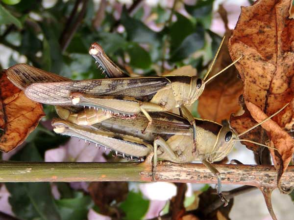 a bird grasshopper, Acanthacris ruficornis, Acrididae, Kenya, photo © by Michael Plagens