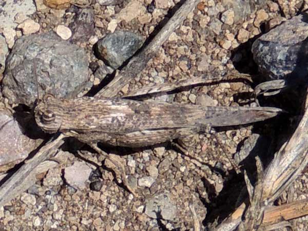 a grasshopper, Morphacris fasciata, f. Acrididae, Kenya, photo © by Michael Plagens