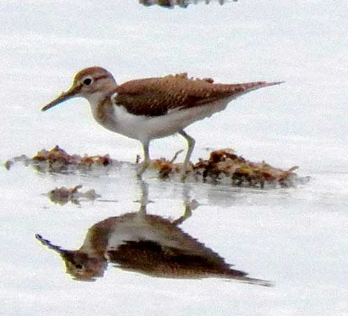 Common Sandpiper, Actitis hypoleucos, photo © by Michael Plagens