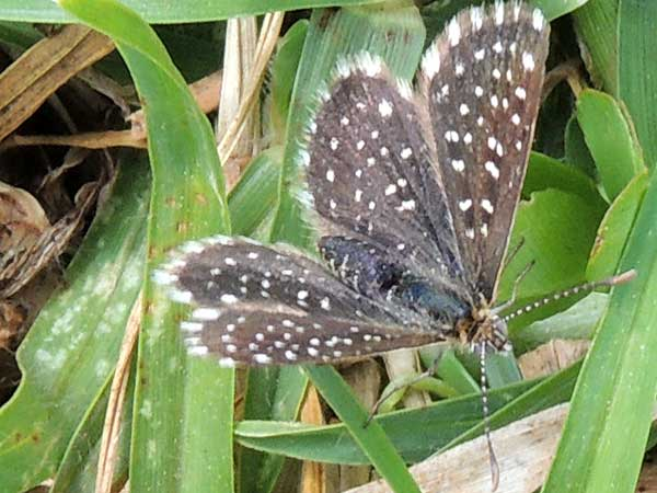 Clover Blue Butterfly, Actizera stellata, from Eldoret, Kenya. Photo © by Michael Plagens