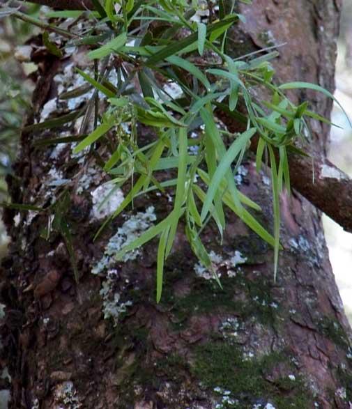 trunk of Podo, Podocarpus falcatus, photo © by Michael Plagens
