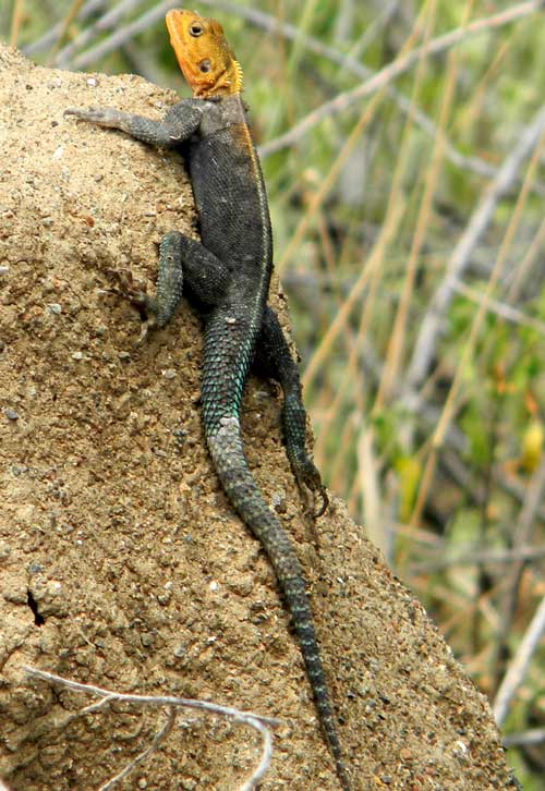 Probably a Common Agama, photo © by Michael Plagens