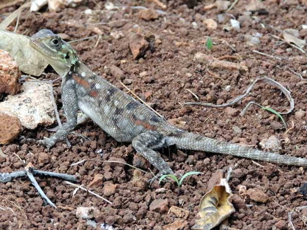 Probably a female Common Agama, photo © by Michael Plagens