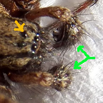 close-up view of eyes and pedipalps of a male agelenidae spider from Eldoret, Kenya. Photo © by Michael Plagens