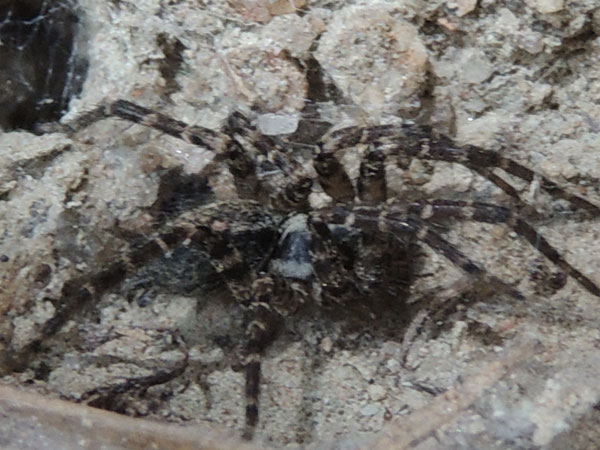 a funnel web spider, Agelenidae, from the Rift Valley, Kenya. Photo © by Michael Plagens