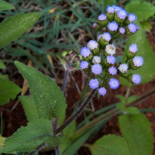 inflorescence of Billy-Goat Weed, Ageratum conyzoides, Eldoret, Kenya, photo © by Michael Plagens