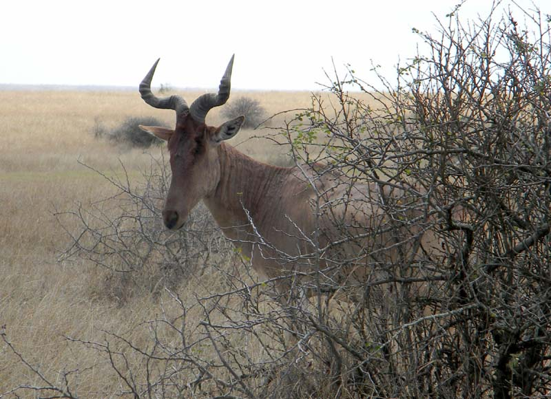 Coke's Hartebeest, Alcelaphus buselaphus, photo © by Michael Plagens