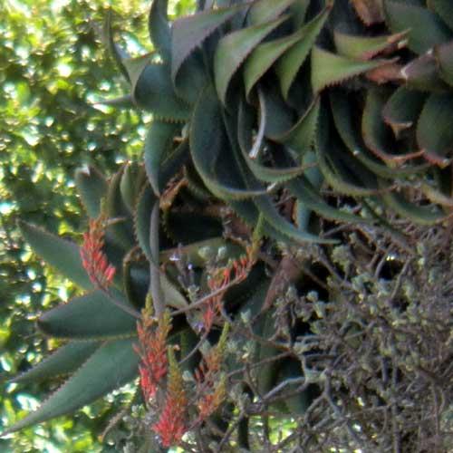 Aloe species, photo by Michael Plagens