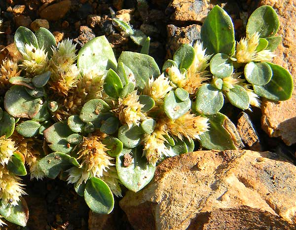 Alternanthera, a weedy plant found growing among gravel in a driveway, Eldoret, Kenya, photo © by Michael Plagens
