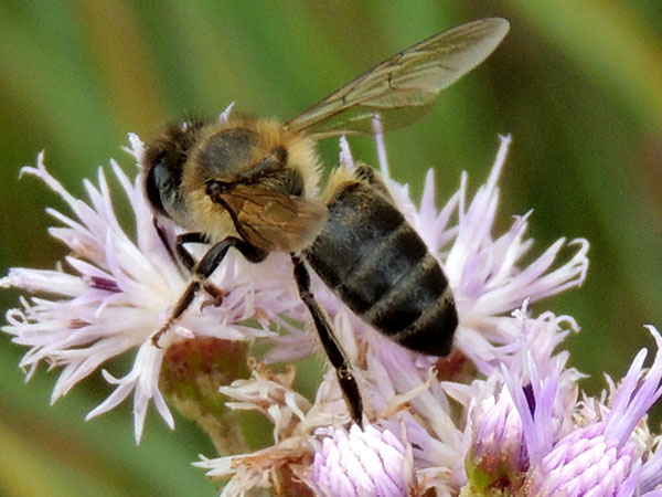 a honey bee, Apis mellifera, at flowers on Menangai Crater, Kenya, March 2013. Photo © by Michael Plagens