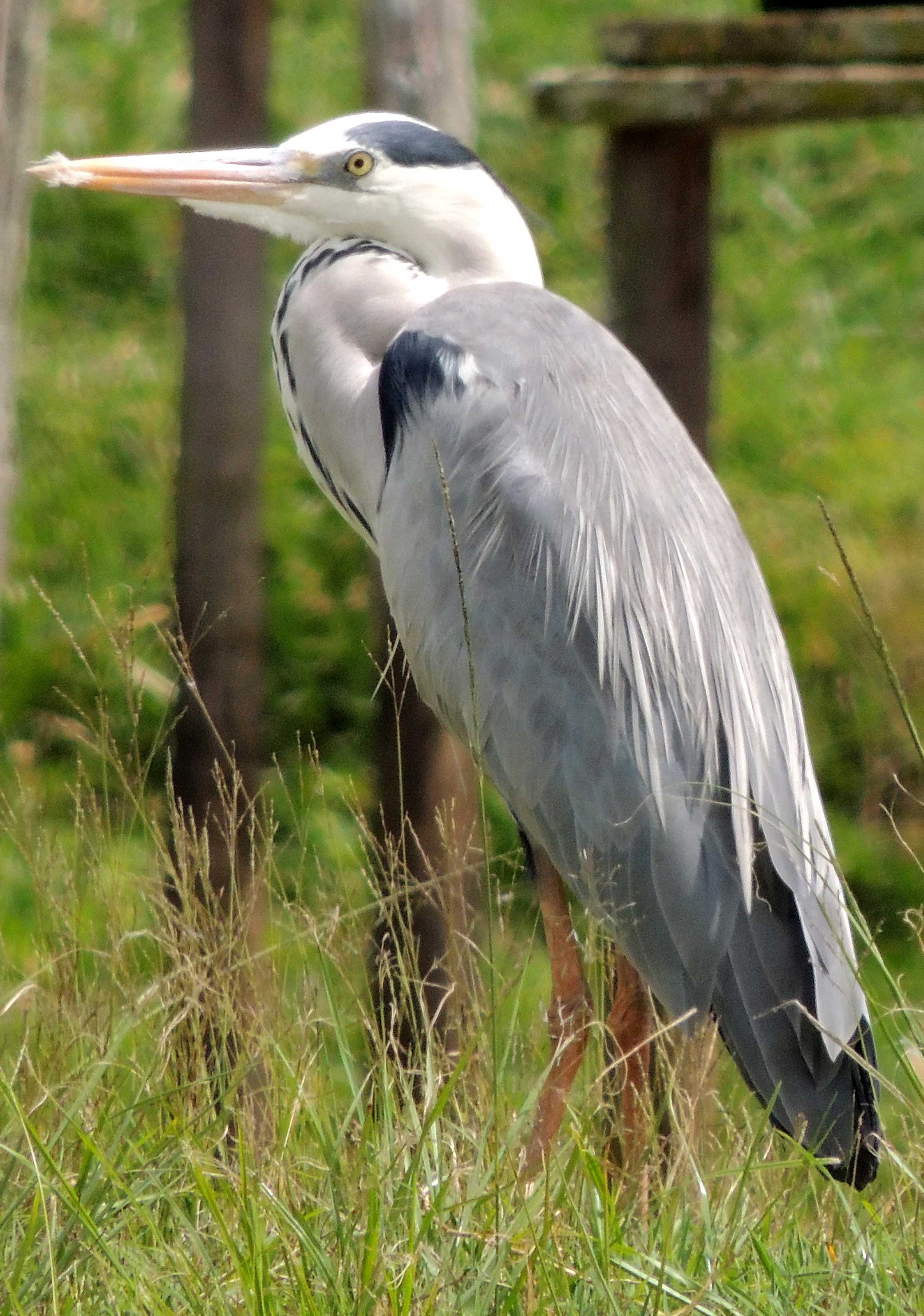 Gray Heron, Ardea cinerea, photo © by Michael Plagens