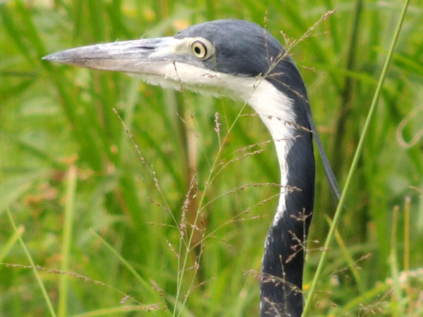 Black-headed Heron, Ardea melanocephala, photo © by Michael Plagens