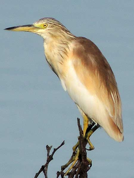 Squacco Heron, Ardeola ralloides, photo © by Michael Plagens