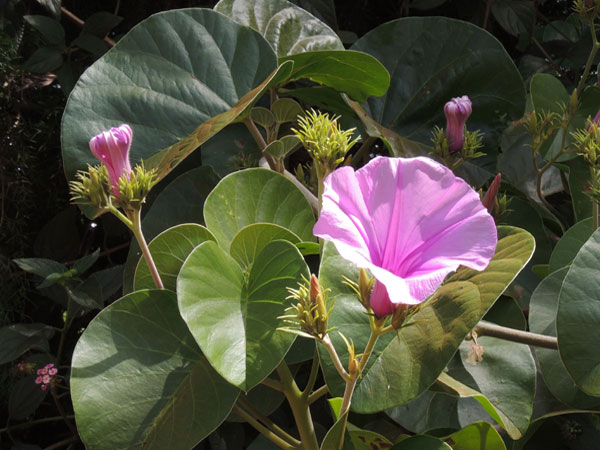 a robust, exotic morning-glory, Argyreia nervosa, from Kenya, photo © by Michael Plagens
