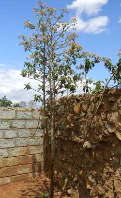 habit of arboriform asteraceae, Tarchonanthus, at Turbo, Kenya, photo © by Michael Plagens