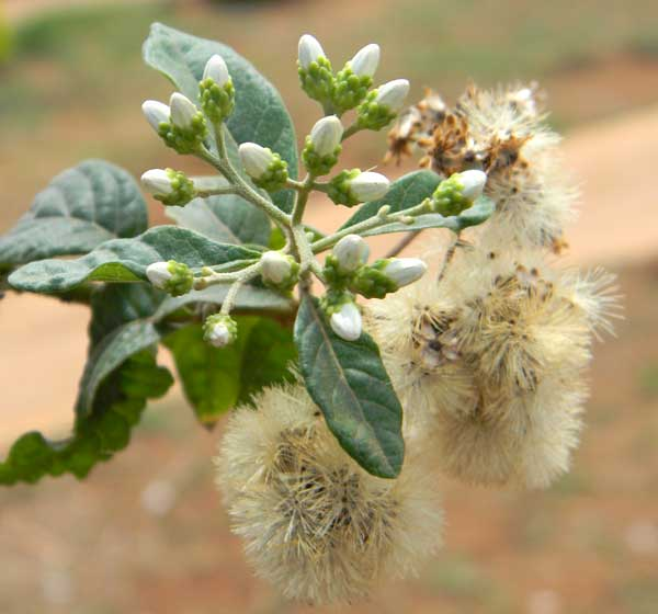 a tree-form asteraceae,  Tarchonanthus at Turbo, Kenya, photo © by Michael Plagens