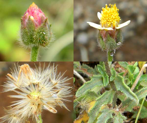 Detail of inflorescence, achenes and leaves of an unidentified asteraceae Nairobi, Kenya, photo © by Michael Plagens
