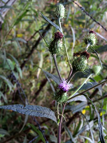 flower heads and foliage of Ironweed, Vernonia gallensis, Eldoret, Kenya, photo © by Michael Plagens