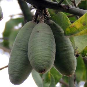 fruit of Balanites aegyptiaca from Kerio Valley