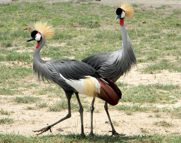 Gray-crowned Crane, Balearica regulorum, photo © by Michael Plagens. Identified by F. N'gweno.