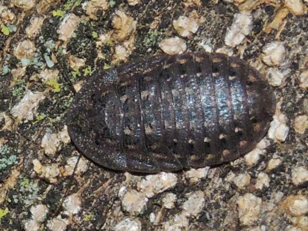 a bark cockroach from Kerio Valley, Kenya, photo © by Michael Plagens