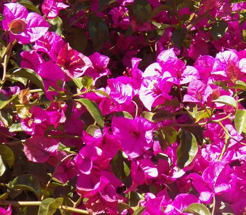 Bougainvillea, Kenya, photo © by Michael Plagens