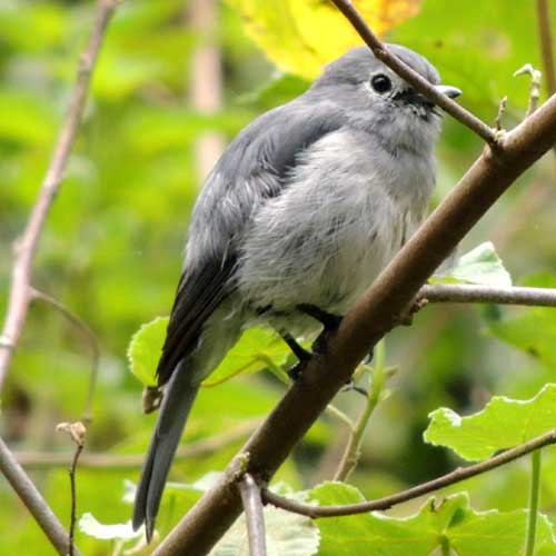 African Gray Flycatcher, Bradornis microrhynchus, photo © by Michael Plagens.