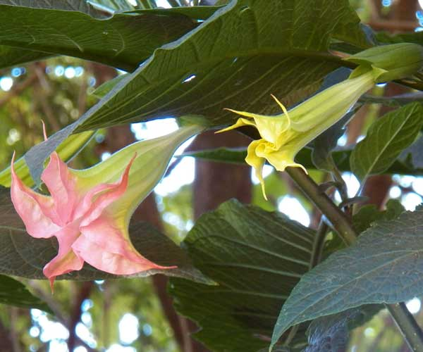 Angel's Trumpet, Brugmansia sp, from near Kitale, Rift Valley, Kenya, photo © by Michael Plagens