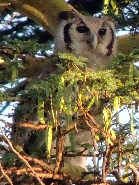 Verreaux'x Eagle Owl, Bubo lacteus, photo © by Michael Plagens.