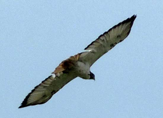 Augur Buzzard, Buteo augur, photo © by Michael Plagens