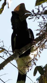 Black-and-White-Casqued Hornbill feeding on fruit of the Parasol Tree, photo © by Michael Plagens