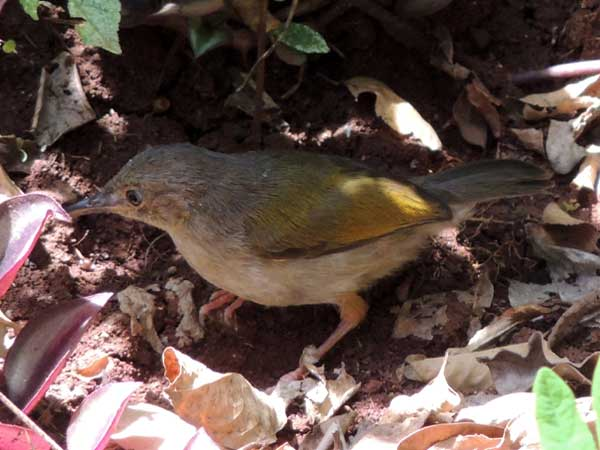 Gray-backed Camaroptera, Camaroptera brevicaudata, photo © by Michael Plagens