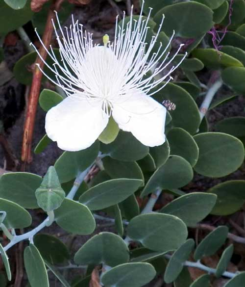 Seaside Caper, Capparis cartilaginea, Mombasa, Kenya, photo © by Michael Plagens