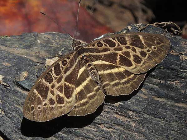 Common Pathfinder, Catuna crithea, Kenya. Photo © by Michael Plagens