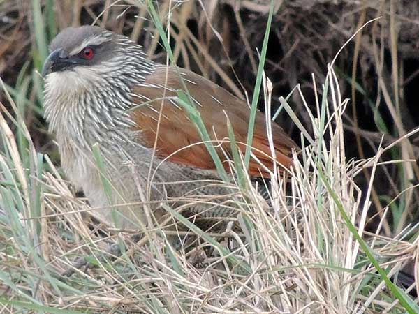 White-browed Coucal, Centropus superciliosus, photo © by Michael Plagens.