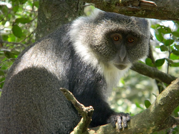 Sike's Monkey, Cercopithecus albogularis, photo © by Michael Plagens