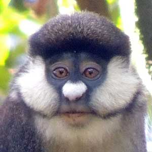 Blue-tailed Monkey, Cercopithecus ascanius, photo © by Michael Plagens